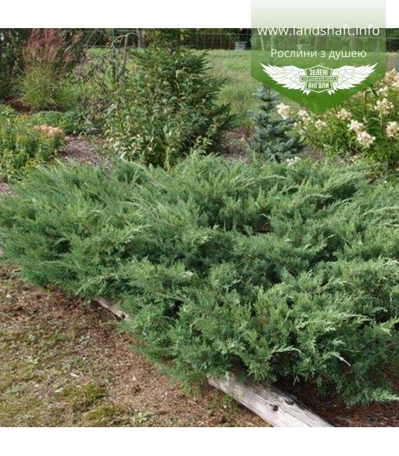 Juniperus x media 'Pfitzeriana Glauca', Можжевельник средний 'Пфитцериана Глаука'