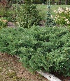 Juniperus x media 'Pfitzeriana Glauca', Ялівець середній 'Пфітцеріана Глаука'