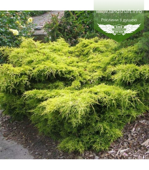 Juniperus x media 'Golden Joy', Ялівець середній 'Голден Джой'