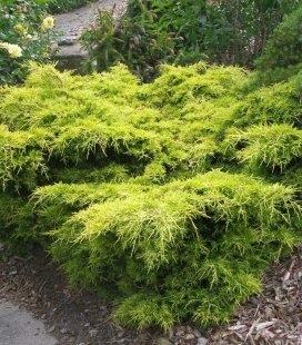 Juniperus x media 'Golden Joy', Можжевельник средний 'Голден Джой'