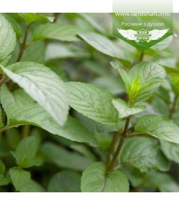 Mentha piperita 'Chocolate', М'ята перцева шоколадна