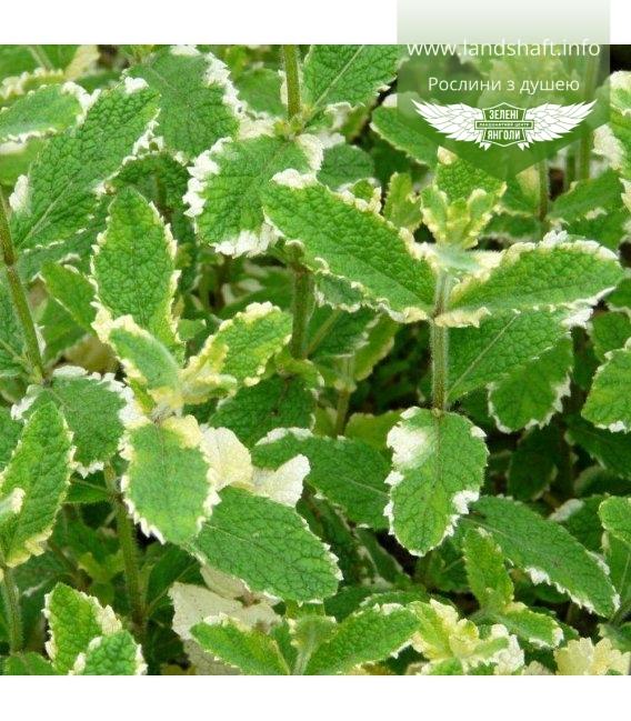 Mentha rotundifolia 'Variegata', Мята круглолистная ананасная