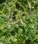Mentha rotundifolia 'Variegata', М'ята круглолиста ананасова
