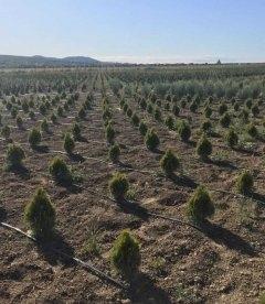 Туя західна 'Голден Смарагд' рослини з грунту