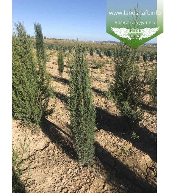 Кипарис вічнозелений 'Стрікта' висота 100-120