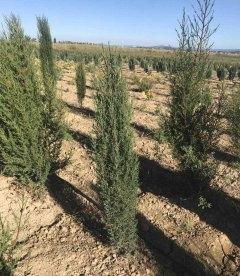 Кипарис вечнозеленый 'Стрикта' ввысота 100-120