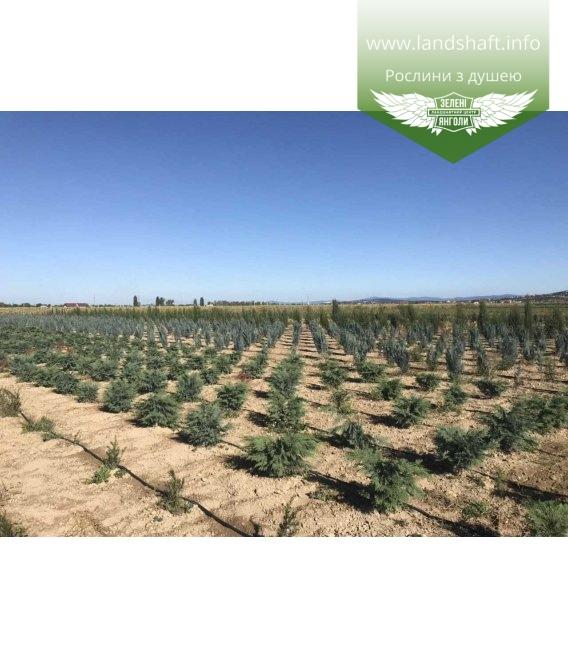 Кипарисовик Лавсона 'Сілвер Глобус' викопні рослини з поля