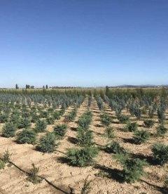 Кипарисовик Лавсона Силвер Глобус выкопные растения с поля