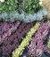Calluna vulgaris mix, Вереск обыкновенный в ассортименте