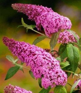 Buddleja davidii 'Pink Delight', Будлея Давіда 'Пінк Делайт'