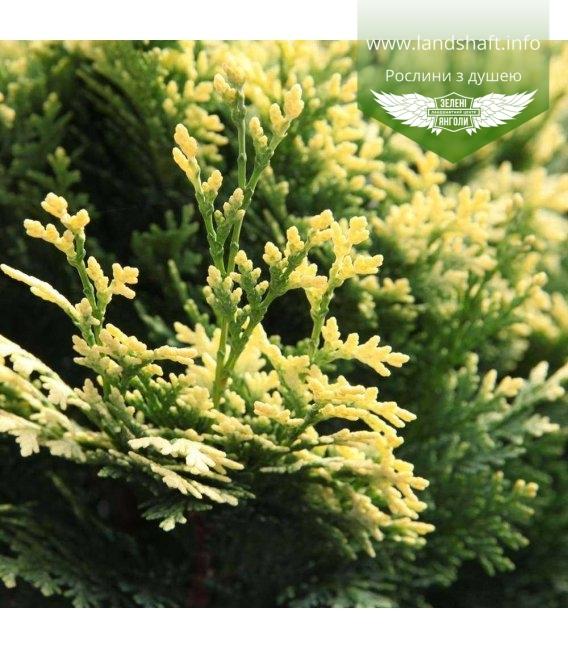 Chamaecyparis obtusa 'Pygmaea', Кипарисовик туполистий 'Пігмі'
