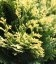 Chamaecyparis lawsoniana 'Pygmaea Argentea', Кипарисовик Лавсона 'Пігмі Аргентеа'