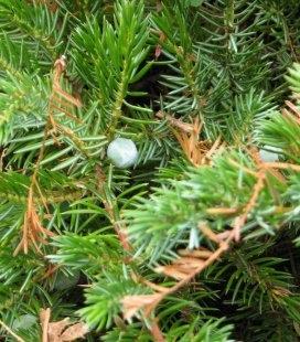 Juniperus conferta 'Emerald Sea', Можжевельник прибрежний 'Эмералд Си'