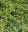 Juniperus conferta 'Emerald Sea', Ялівець прибережний 'Емералд Сі'