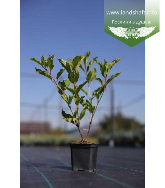 Hydrangea paniculata 'Kyushu', Гортензія волотиста 'Кіушу' в горщику