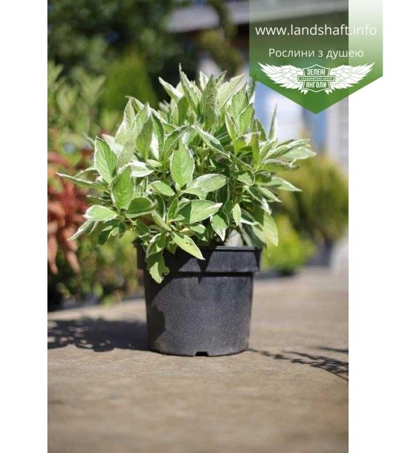 Hydrangea macrophylla 'Mariesii Variegata/Maculata', Гортензія крупнолиста 'Марієзі Варієгата/Макула в горщику 5л