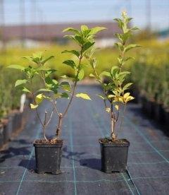 Hydrangea paniculata 'Limelight', Гортензія волотиста 'Лаймлайт' маленькі