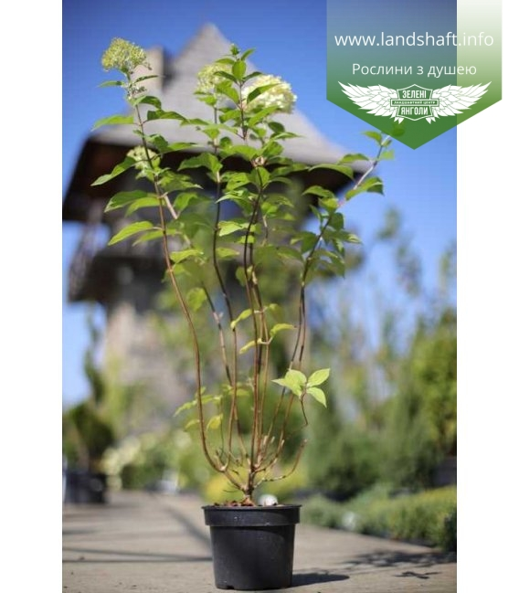 Hydrangea paniculata 'Limelight', Гортензія волотиста 'Лаймлайт' в горщику 2л