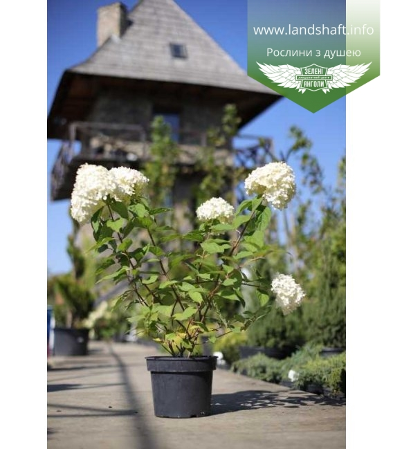 Hydrangea paniculata 'Limelight', Гортензія волотиста 'Лаймлайт' с бутонами
