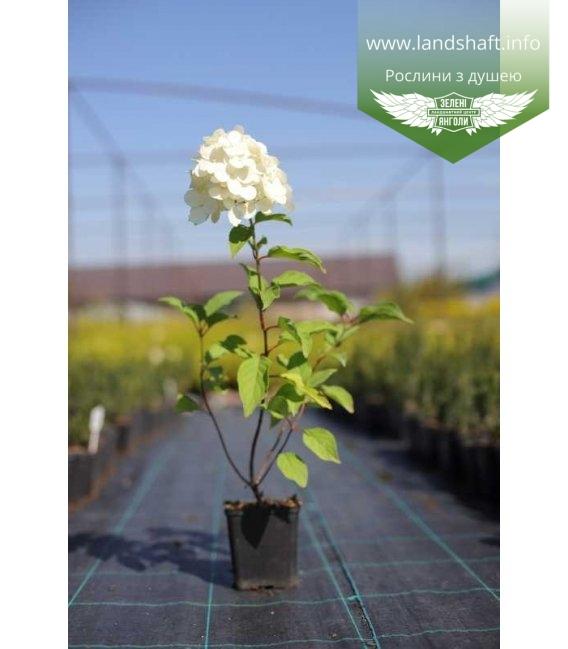 Hydrangea paniculata 'Polar Bear', Гортензія волотиста 'Полар Бер' маленька 0.5л