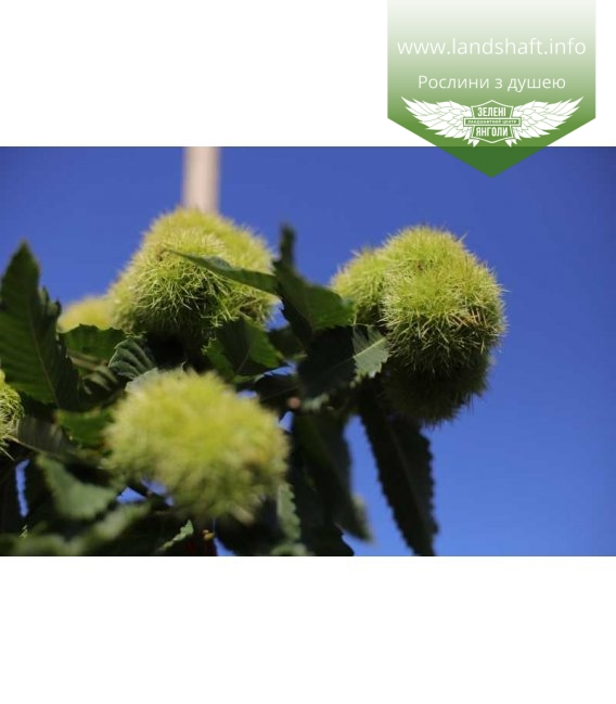 Castanea sativa, Каштан їстівний плоди