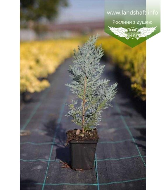 Chamaecyparis lawsoniana 'Blom', Кипарисовик Лавсона 'Блом' в горщику 0.5л