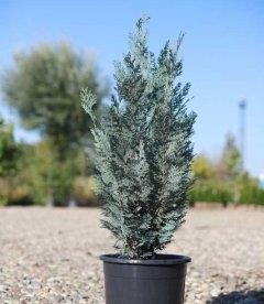 Chamaecyparis lawsoniana 'Blom', Кипарисовик Лавсона 'Блом' 80-100см