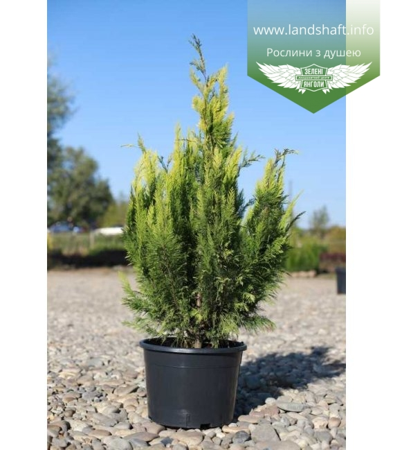 Chamaecyparis lawsoniana 'Lane', Кипарисовик Лавсона 'Лейн' горщик 25л 120-140см