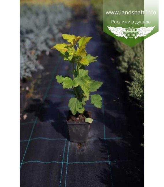 Physocarpus opulifolius 'Angel Gold', Пухироплідник калинолистий 'Ейнджел Голд' в горщику 0.5л