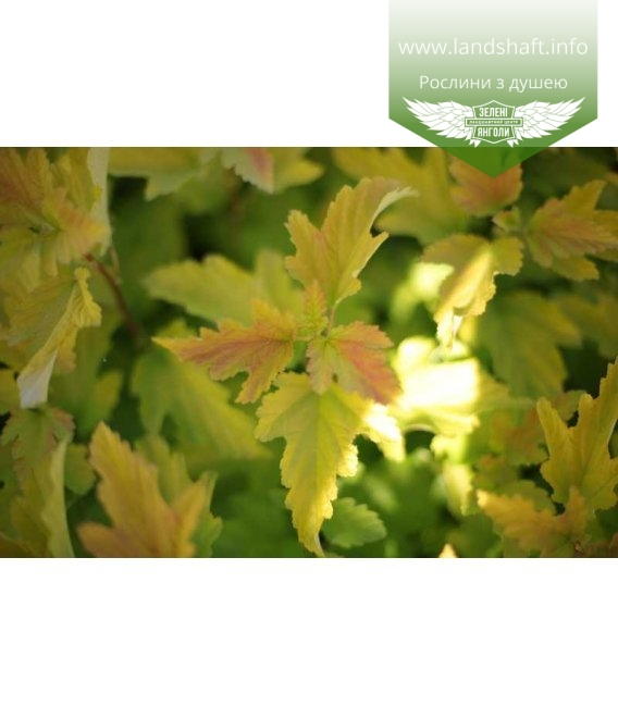 Physocarpus opulifolius 'Angel Gold', Пухироплідник калинолистий 'Ейнджел Голд'