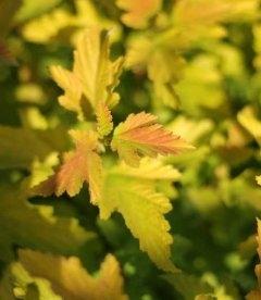 Physocarpus opulifolius 'Angel Gold' ('Minange') Пузыреплодник калинолистный 'Ангел Голд'