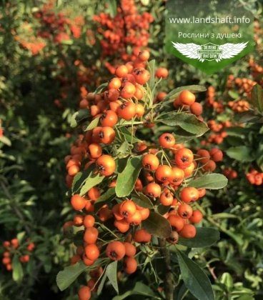 Пираканта ярко-красная Оранж Глоу яркие ягоды