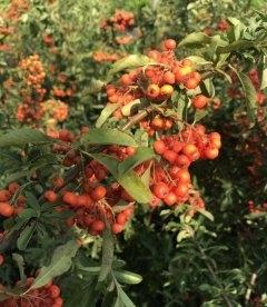 Піраканта яскраво-червона 'Оранж Глоу' декоративны ягоди