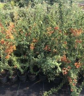 Пираканта ярко-красная Оранж Глоу в контейнере С2