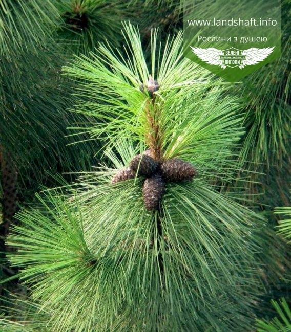 Pinus ponderosa, Сосна жовта