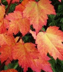 Acer rubrum 'Brandywine', Клен червоний 'Брендівайн'