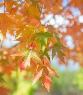Acer x freemanii 'Sienna Glen', Клен Фримана 'Сиенна Глен'