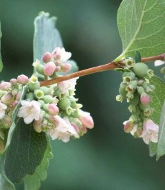 Symphoricarpos doorenbosii 'White Hedge', Снежноягодник Доренбоза 'Вайт Хедж'