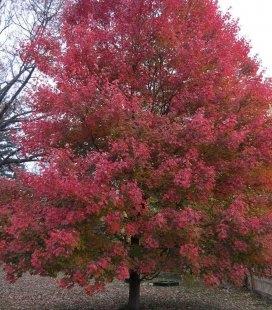Acer rubrum 'Sun Valley', Клен красный 'Сан Вэлли'