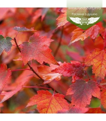 Acer rubrum 'Sun Valley', Клен червоний 'Сан Велі'