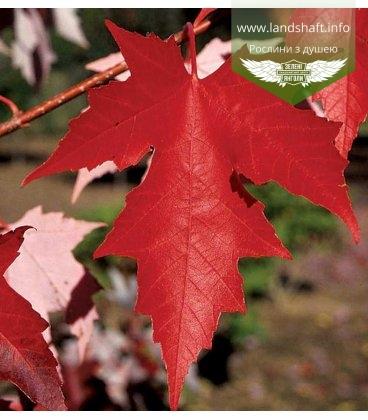 Acer x freemanii 'Autumn Fantasy', Клен Фримана 'Отм Фэнтэзи'