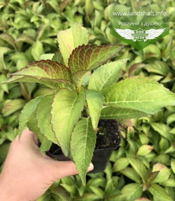 Hydrangea macrophylla, Гортензія червонолиста, в контейнері P9.