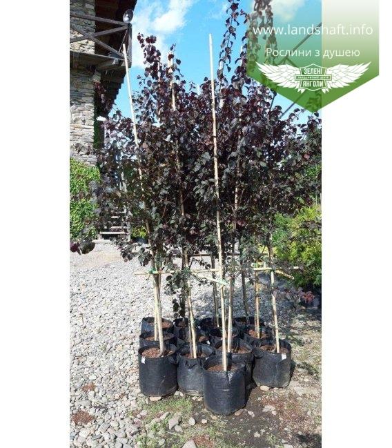 Prunus Pissardi, Слива Піссарда, в контейнері C33.