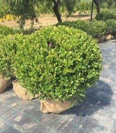 Buxus sempervirens Самшит вечнозеленый, сформированый шар.