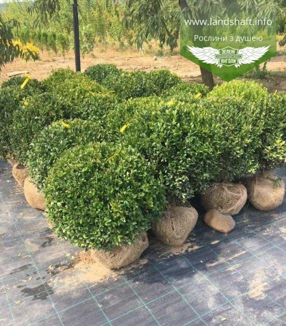Buxus sempervirens, Самшит вічнозелений, з доставкою по Україні.