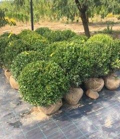 Buxus sempervirens Самшит вечнозеленый, с доставкой по Украине.