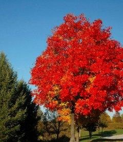 Acer x freemanii 'Autumn Blaze', Клен Фрімана 'Отм Блейз'