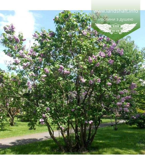 Syringa vulgaris 'Katherine Havemeyer', Бузок звичайний 'Катеріна Хавемейєр'