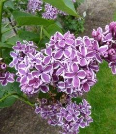 Syringa vulgaris 'Sensation', Сирень обыкновенная 'Сенсейшн'