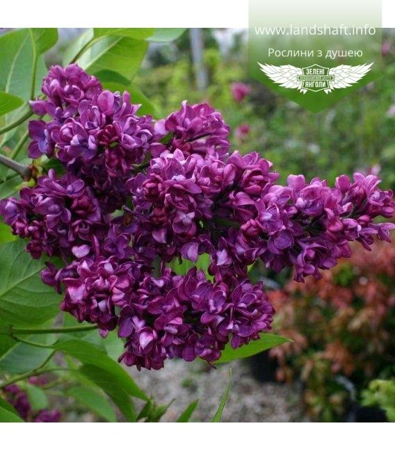 Syringa vulgaris 'Sensation', Бузок звичайний 'Сенсейшн'